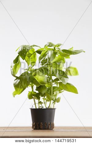 herb basil pot plant on wooden table