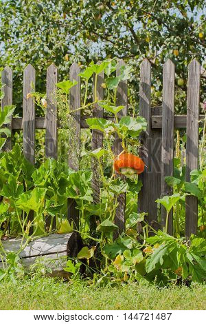 Pumpkin, nicely braiding on a rustic wooden fence, vertical