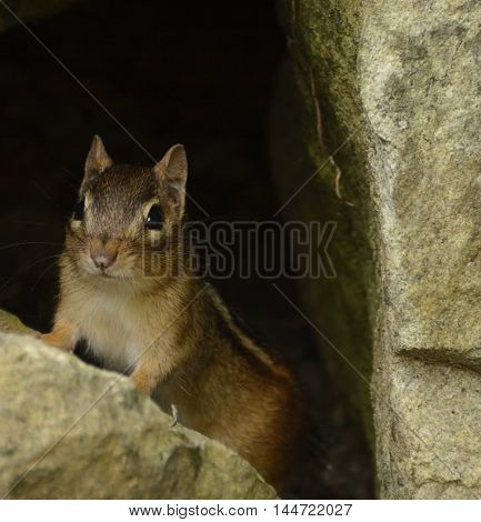 A Chipmunk (Tamias striatus) surveying the area outside his den before leaving its protection.