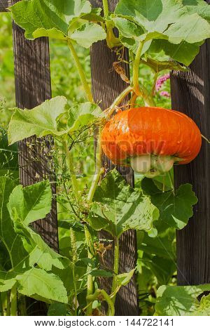 Pumpkin - the Queen of autumn, bright red, tasty and healthy, vertical