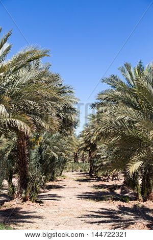 Looking down a row of date palm trees in a grove in Arizona