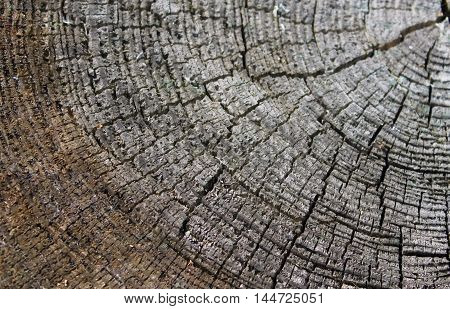 section of an old tree, wooden texture