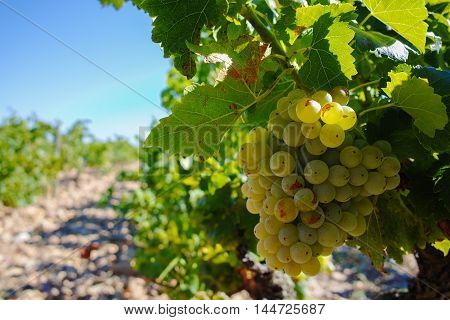 Vineyards and grape harvest in chateau Chateauneuf-du-Pape, Provence, France