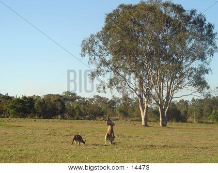 Kangaroos And Gum Trees