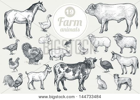 Farm animals. Goat cow horse sheep pig bull sheep donkey dog cat bird goose quail duck couple turkeys rooster hen guinea hen. Isolated on white background. Vintage vector set .