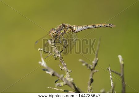 Common Darter (Sympetrum striolatum) female resting on a Branch