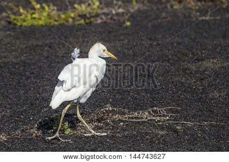 Cattle egret (Bubulcus ibis) walking on the lava field on Lanzarote the easternmost of the Canary Islands