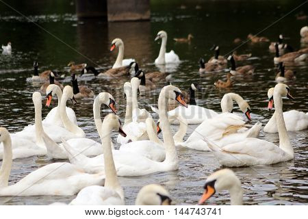 A flock of Mute Swans & Canada Geese on a river
