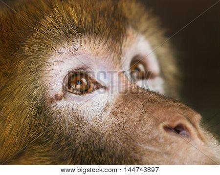 Detail of face of Barbary ape - Macaca sylvanus