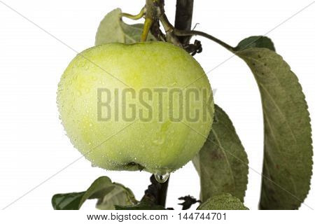 Green apple on a branch with waterdrops isolated on a white background.