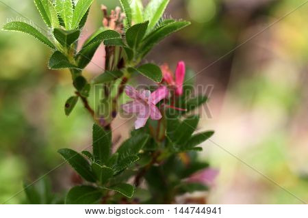 Flowers of a hairy alpenrose (Rhododendron hirsutum)