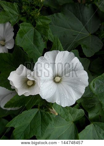 photo manipulation oil paint background with white petunia flowers
