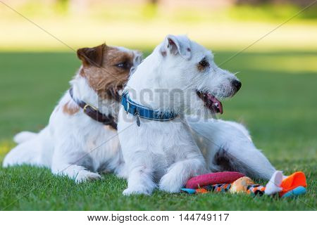 Outdoor Portrait Of Two Parson Russell Terrier