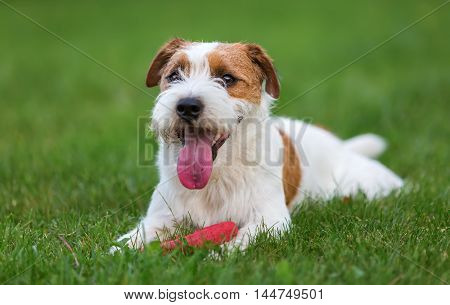 Outdoor Portrait Of A Parson Russell Terrier