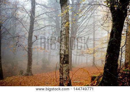 Autumn forest at Mata da Albergaria, Geres National Park, Portugal