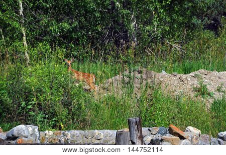 Fawn is alert to danger as it pauses at the edge of the forest in Paradise Valley Montana. Fawn still has white spots.