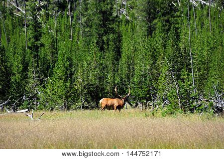 Elk pauses in grazing to watch warily. He is standing in grassy meadow in Yellowstone National Park.