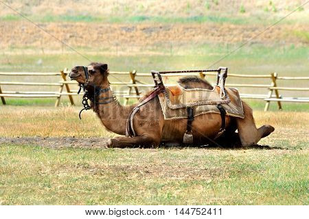 Camel lays in wooden corral outside of Bozeman Montana. He is saddled and bridled waiting on riders.