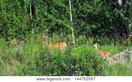 Doe leads her fawn further into the safety of the forest in Paradise Valley Montana. Tall grasses almost hide the two deer. Doe still has white spots.