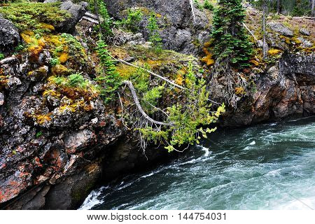 Leaning pine tree reaches toward the water as the Yellowstone River goes over the brink of Upper Falls in Yellowstone National Park.
