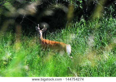 Alert to danger small buck pauses in his foraging to watch. Tall green grass in Paradise Valley Montana partially camoflauge deer.