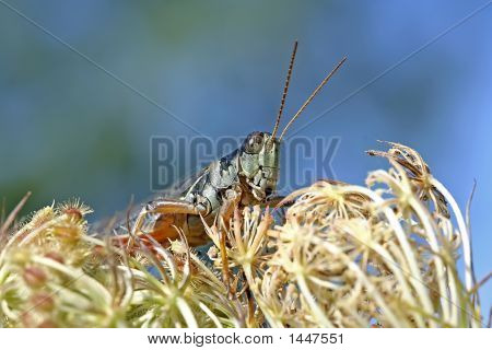 Grasshopper - Melanoplus Femurrubrum On Dried Carrot Flowers