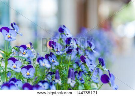 close up of viola garden in street of Winthrop Washington State USA