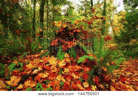 a picture of an exterior Pacific Northwest forest with a  conifer tree stump and maple leaves in fall