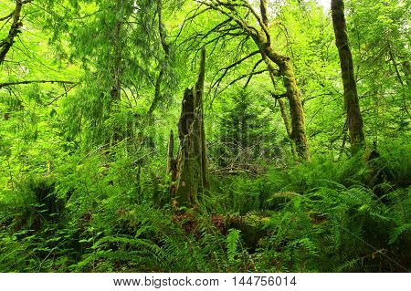 a picture of an exterior Pacific Northwest forest with a conifer tree stump