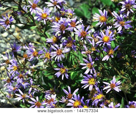 Purple flowers bloom in clusters. Each flower has yellow center.