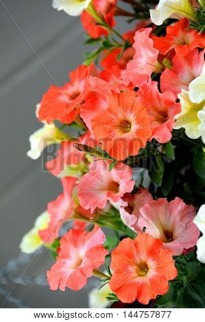 Basket of petunias glow with multiple shades of orange in a garden in Montana.
