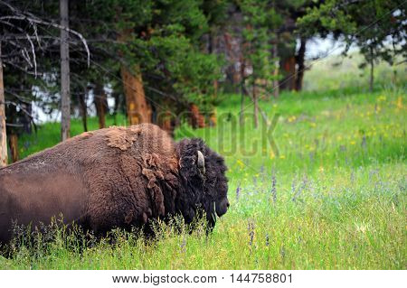 Buffalo pauses in his feeding to lift his head from the deep grass of a field in Yellowstone National Park.
