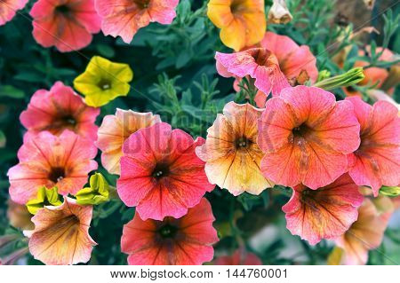 Hanging basket of petunias bloom in pink orange and yellow bloom outside building in Wyoming. Close up of flowers.
