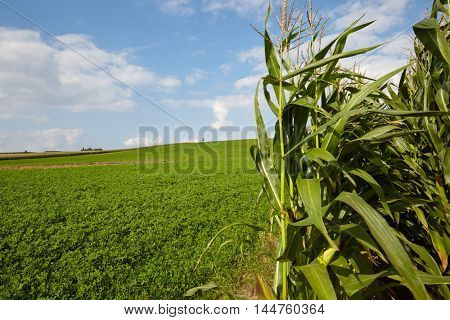 Edge of corn field with a bright blue sky at sundown.