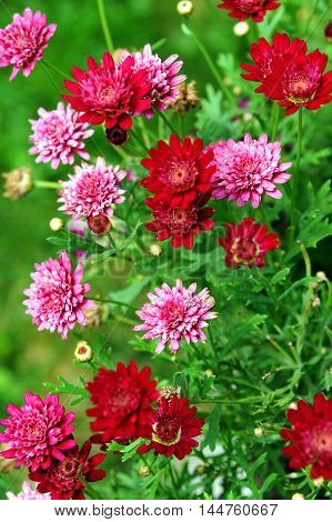 Summer flower bed is filled with red and pink blooms. Garden is located in Happy Valley Montana.