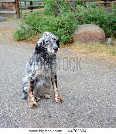 Black & white spotted dog with a hang-dog look sits outside on a farm in Happy Valley Montana.