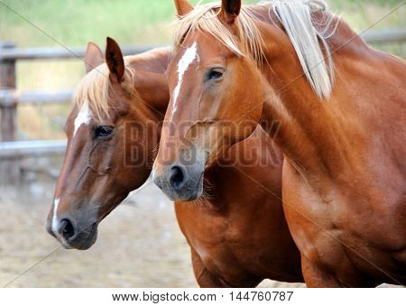 Two horses in corral in Happy Valley Montana makes you think you are seeing double. Young horses are both chestnut with a star on their faces.