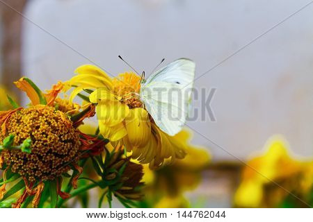 white butterfly on bright yellow flowers nature