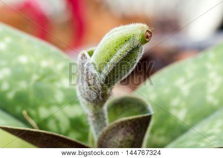 Paphiopedilum Seed
