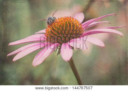 A single purple coneflower with a little bee on it.