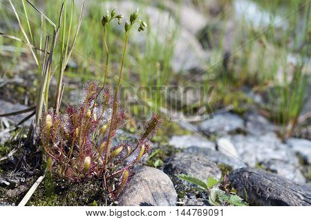 The intermediate sundew (lat. Drósera intermédia) -- pitcher plant, a species of Sundew (Drosera) Rosenkova family (Droseraceae), growing in peat bogs in Europe, North America (Eastern Canada, USA and South America