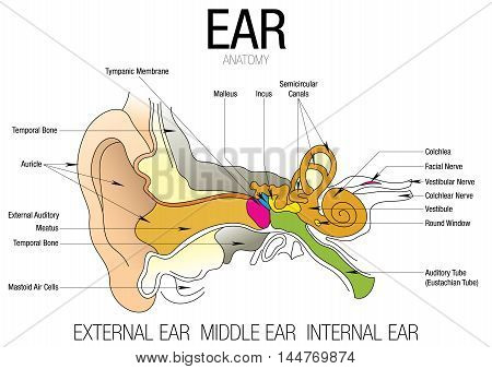 EAR ANATOMY with parts name - Vector image