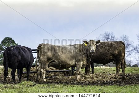 Three commercial cows standing in front of a hay feeder in January in Alabama