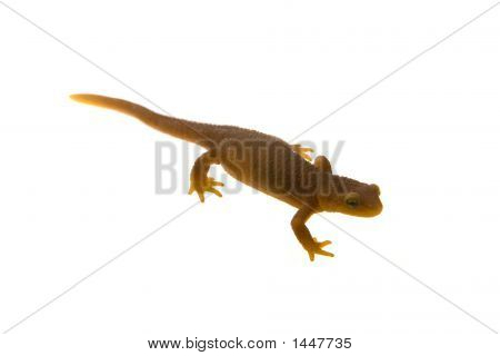 California Coastal Range Newt