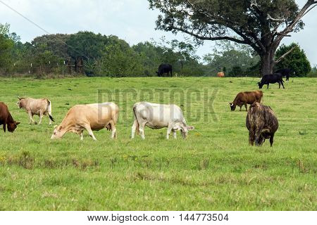 Crossbred brood cows grazing in a pasture