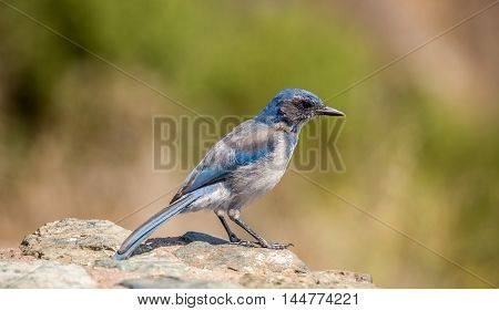 Western Scrub-Jay (Aphelocoma californica) perched on a rock. The California scrub jay, is a species of scrub jay native to western North America. It ranges from southern British Columbia throughout California west of the Sierra Nevada.