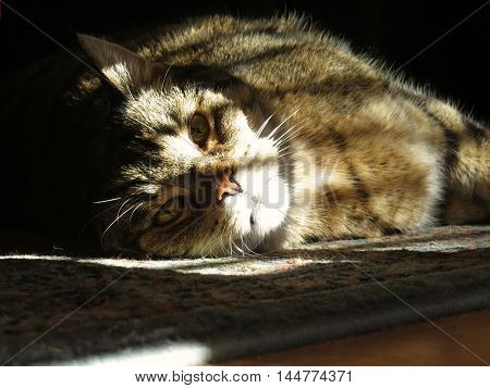 Tabby cat lying in sunlight and shadows