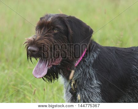A German Wirehair Pointer in a field