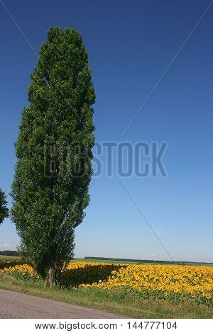 Poplar on the edge of a field of blooming sunflowers on a background of blue sky