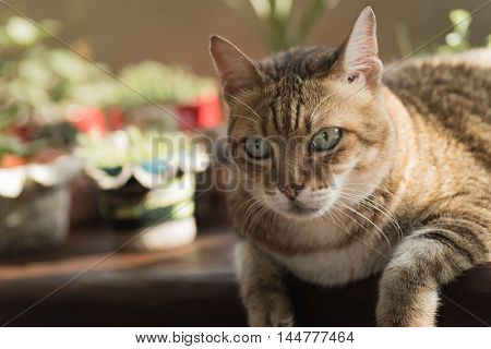 lazy cat with a little unhappy expression sit on the chair at the home